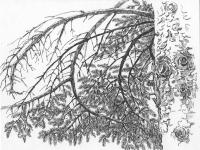 Ветви. Зарисовка.