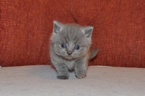 Очаровательные британские котята - 2.