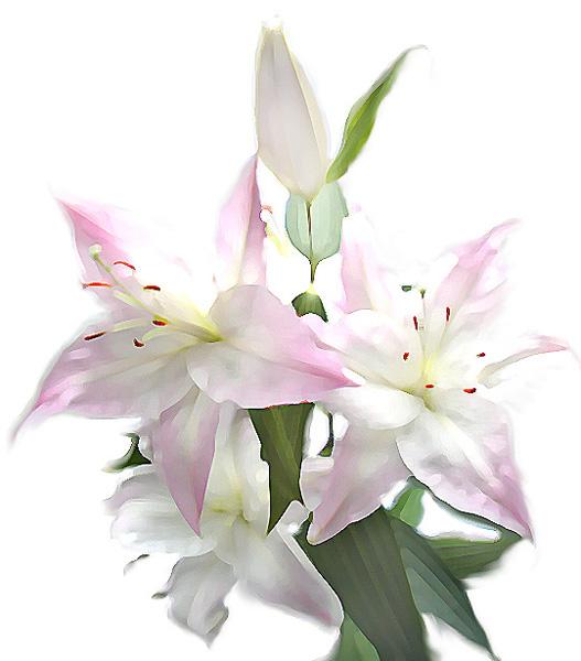 Фоны. Лилии в цвету