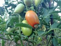 Фитофтора на помидорах: как бороться?