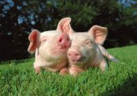 Поголовье свиней в Украине