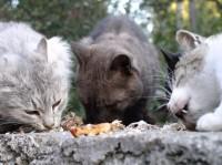 Репутационный менеджмент: питомник кошек (популяризация породы, нейтрализация негатива)