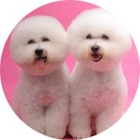 Перевод рекламного текста о породе собак бишон фризе En > Ru