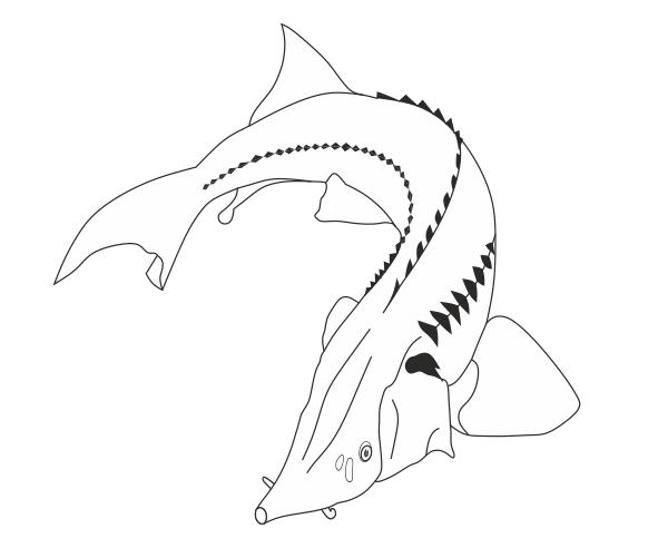Осетр (отрисовка в векторе)