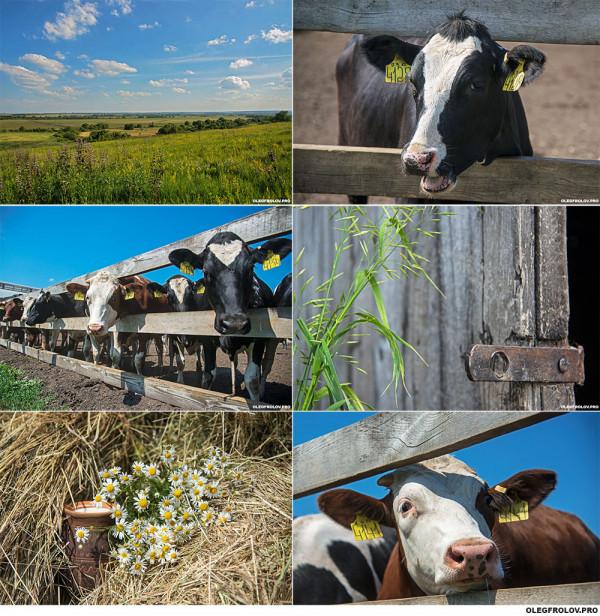 Молочная ферма в Саранской области