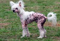 Китайская хохлатая собачка - какая она?