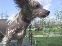 История породы китайской хохлатой собаки