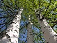 Магия растений и дендротерапия