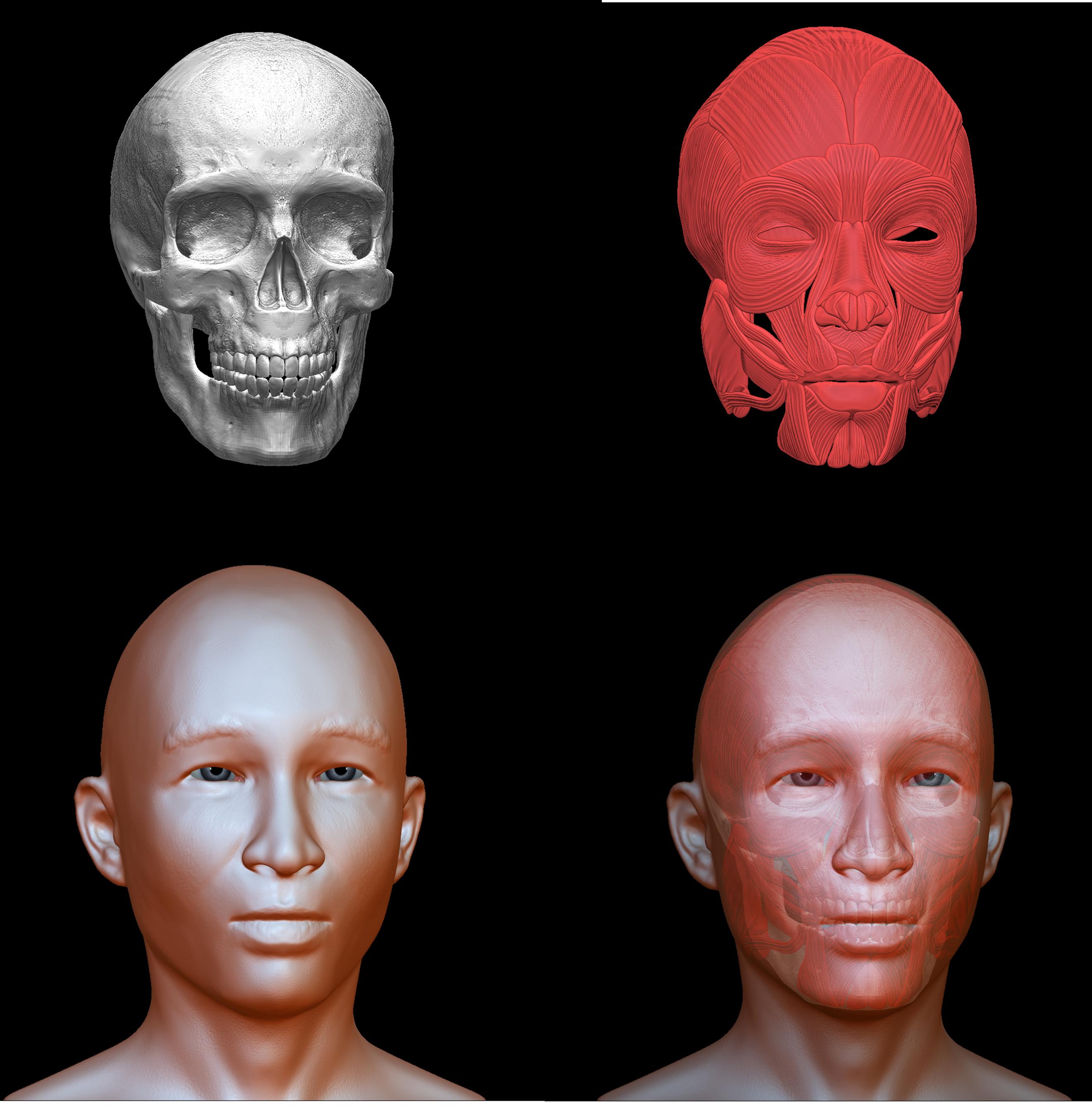 Азиат мышцы и череп