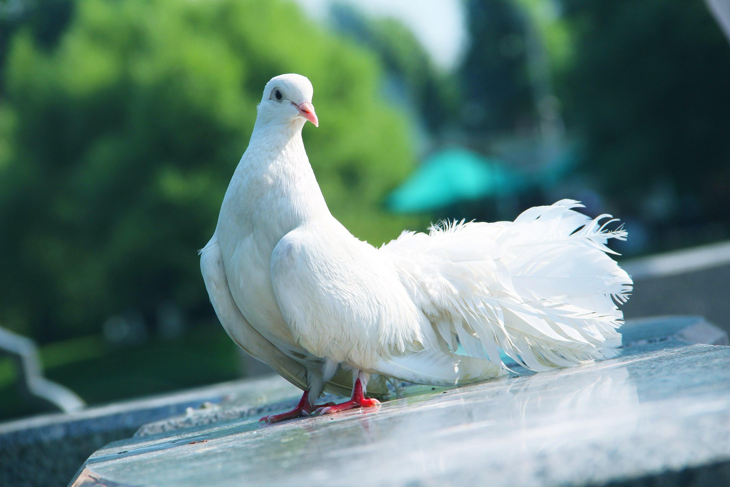 Фото: Белый голубь