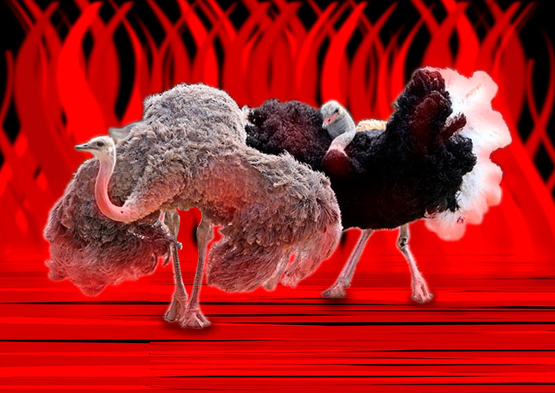 Коллаж страусы