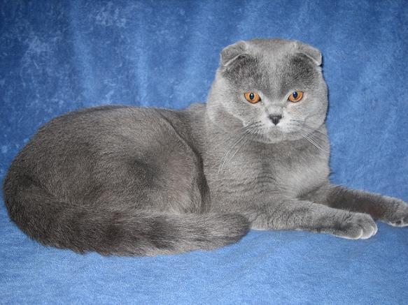 Фотографии Шотландский вислоухий кот приглашает на вязку.