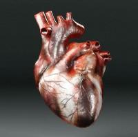 Человеческое сердце (3D модель)
