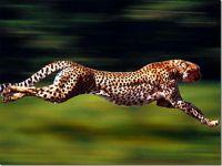 Численность гепардов