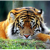 sleeping_tiger