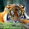 sleeping_tiger