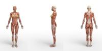 Мускульная система
