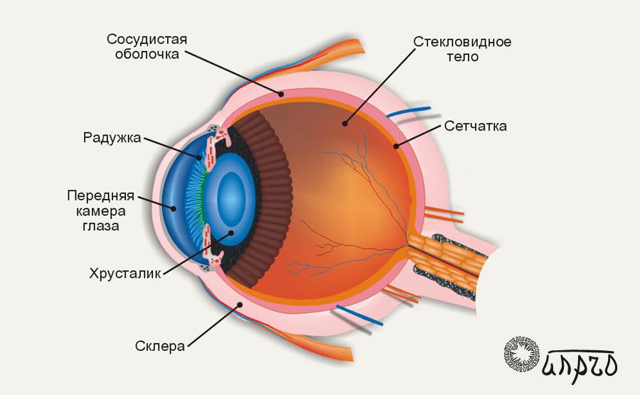 Мультимедиа-анатомия: строение глаза