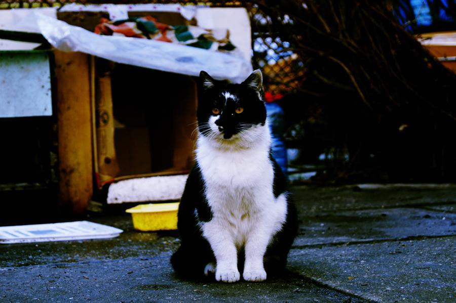 коренастый кот
