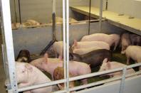 Бизнес-план свиноводческого комплекса