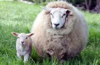 Изделия из овечьей шерсти